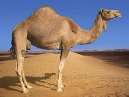 Camels have the ability to conserve water