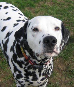 Dalmatians are in the top ten most popular dog breeds