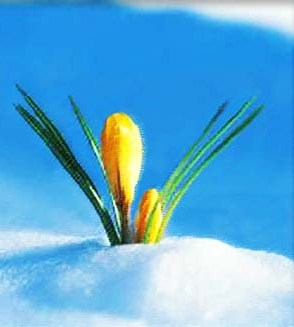 Flowers bursting from snow is a sign of Spring