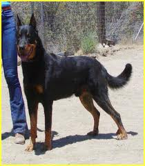 Beauceron is one of the top ten large dog breeds