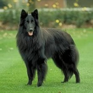 Belgian Shepherd is one of the top ten large dog breeds