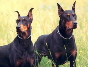 Dobermans are one of the top ten large dog breeds