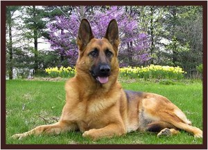 German Shepherd is one of the top ten large dog breeds