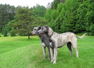 Irish Wolfhound is one of the top ten large dog breeds