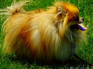 One of the top ten miniature dogs breeds