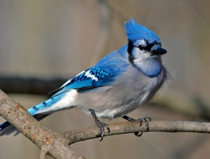 A list of the top ten backyard birds