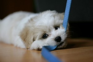 Top 10 things you need for a new puppy leash and collar