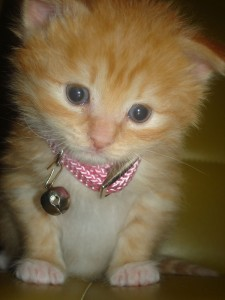 kitten with pink collar
