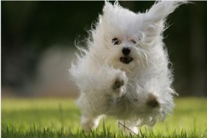 white pup running in top ten smallest dog breeds
