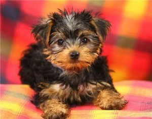 yorkie in top ten smallest dog breeds