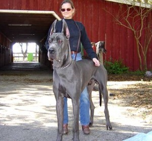 Largest Great Dane http://www.catalogs.com/info/bestof/top-10-largest-dog-breeds