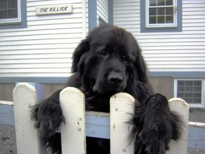 top 10 largest dog breeds newfoundland