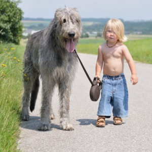 Top 10 largest dog breeds the irish wolfhound