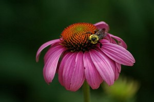 Cone Flower