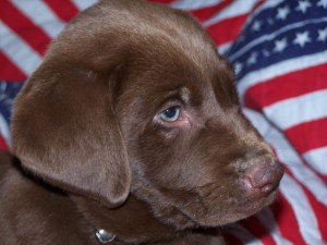 Labradors are the top most popular dog breed