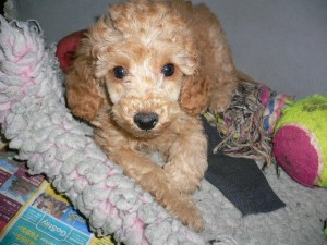 Toy poodles are in the top ten most popular dog breeds