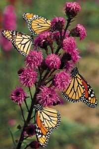 Invite butterflies to grandma's garden for Mother's Day