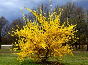 Forsythia and others flowers, shrubs and trees bloom in the Spring