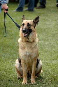 German Shepherds are in the top ten most popular dog breeds