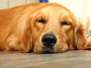 Golden retrievers are in the top ten most popular dog breeds