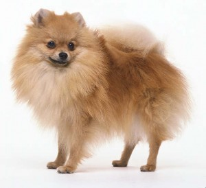 Pomeranians are in the top ten most popular dog breeds