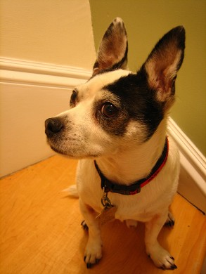 One of the top ten mini dogs breeds