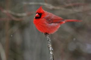 A list of the top ten backyard birds