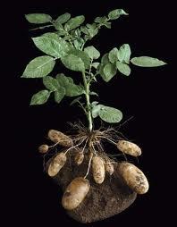 potato and horseradish