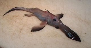 long nosed chimaera