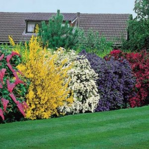 common flowering shrubs