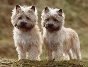 Cairn terrier in the top 10 smallest dog breeds