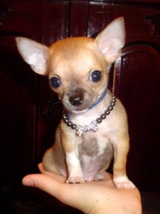 Chihuahua in the top 10 smallest dog breeds