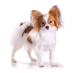 Papillion in the top 10 smallest dog breeds
