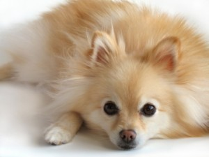 Pomeranian in the top 10 smallest dog breeds