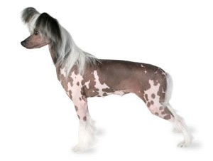 Chinese crested in the top 10 smallest dog breeds