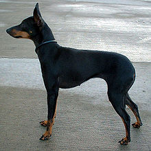 english toy terrier in the top 10 smallest dog breeds