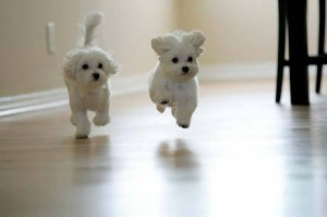 maltese in the top 10 smallest dog breeds