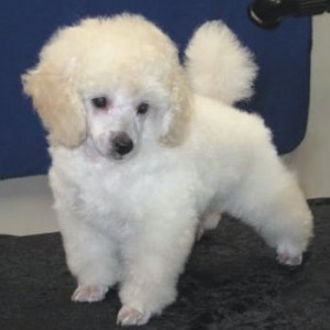 teacup toy poodle in the top 10 smallest dog breeds