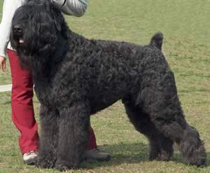 top 10 largest dog breeds Black Russian Terrier