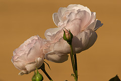 Pale Pink with Taupe