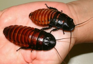 The Roach That Ate Cleveland