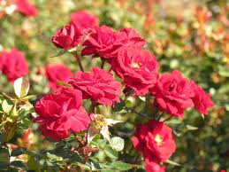 top 10 easy gifts rose bushes