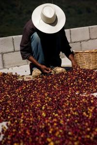 Organic Fair Trade Coffee or Tea