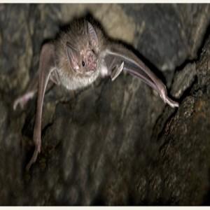 Adopt a Vampire Bat