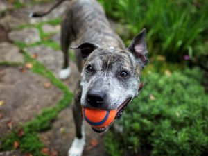 old dog with ball