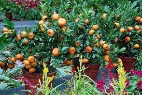 fruit trees main