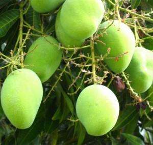 Mango seed fiber