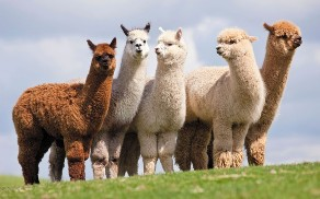 alpacas not on amazon