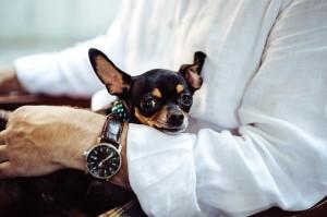 chihuahua lap dog
