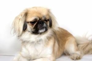 pekingnese lap dog
